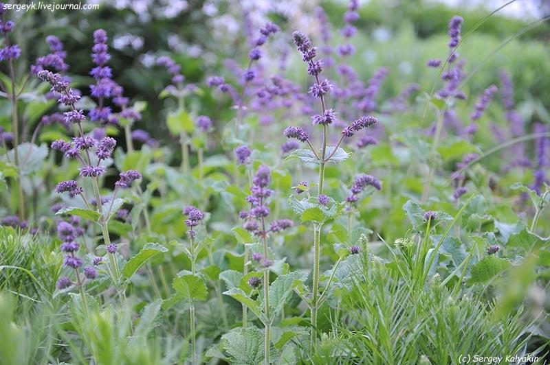 Salvia verticillata Purple Rain (1).JPG