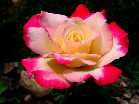 фото роз
