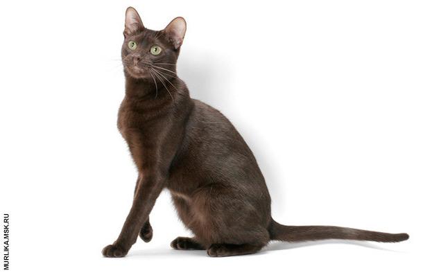 Гавана, гавана порода кошки