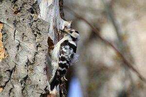 Малый пёстрый дятел (лат. Dendrocopos minor либо Picoides minor) выдалбливает и углубляет дупло для гнезда в старом тополе, отчего топорщатся перья на спине