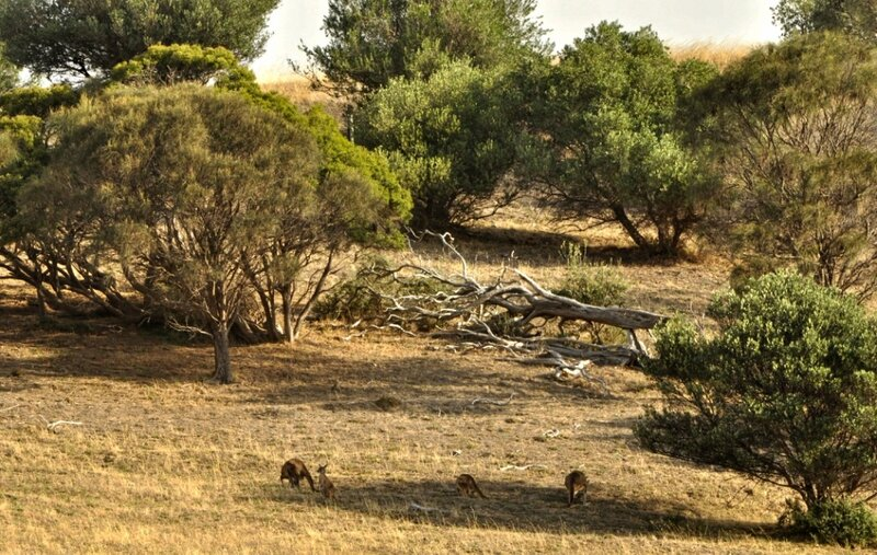 Пейзаж с кенгуру
