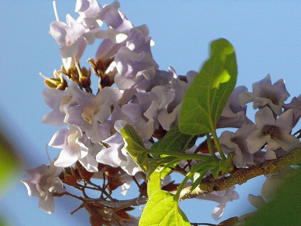 адамово дерево фото комнатное растение номер