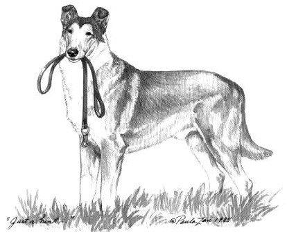 smooth collie drawing by Paula Zan