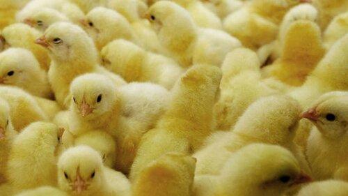 Учителям Узбекистана выдают зарплату в цыплятах