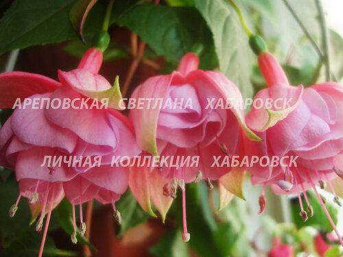 НОВИНКИ ФУКСИЙ. - Страница 5 0_155f18_a60670a0_L