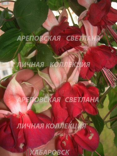 НОВИНКИ ФУКСИЙ. - Страница 5 0_155f19_c0b7ce8_L