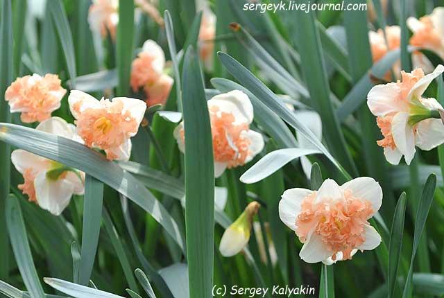 Narcissus Vanilla Peach.JPG