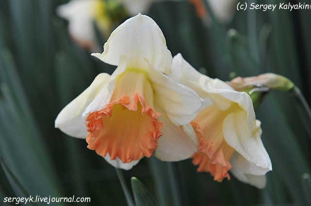 Narcissus Zinzi.JPG