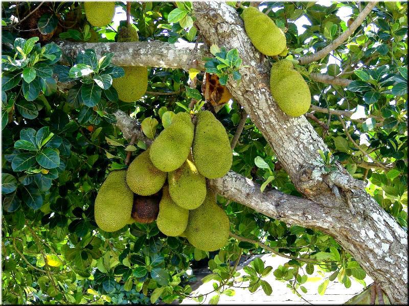 Плод дынного дерева 6 буквы сканворд