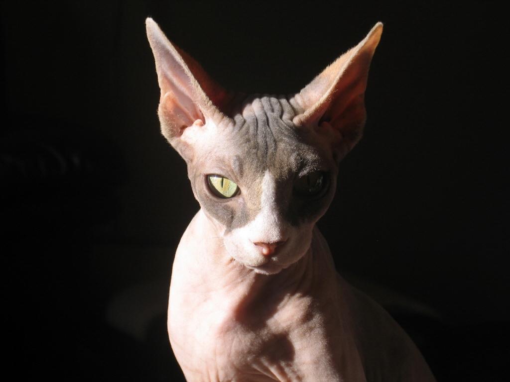 Сувора кішка