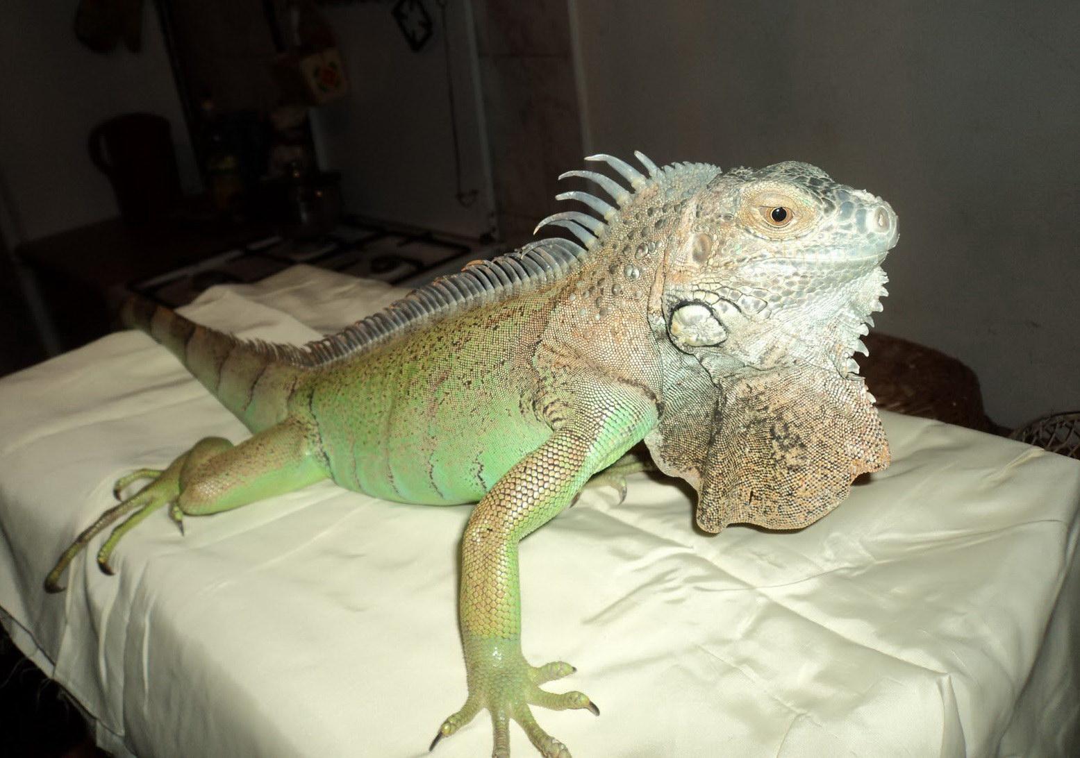 Ігуана на ліжку