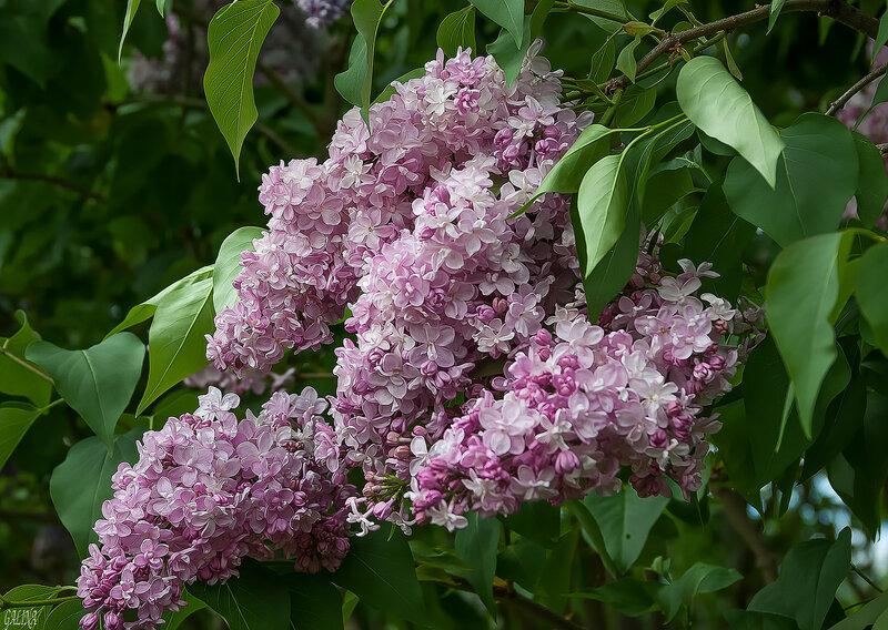 Розовая гроздь сирени