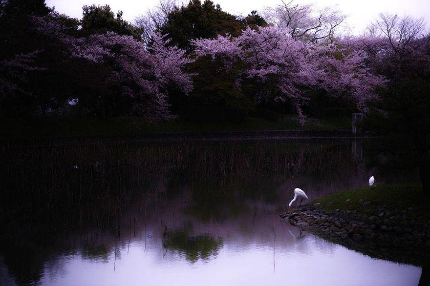 Первенство сакуры связано с общим поворотом японского общества в конце девятого века в сторону обрет