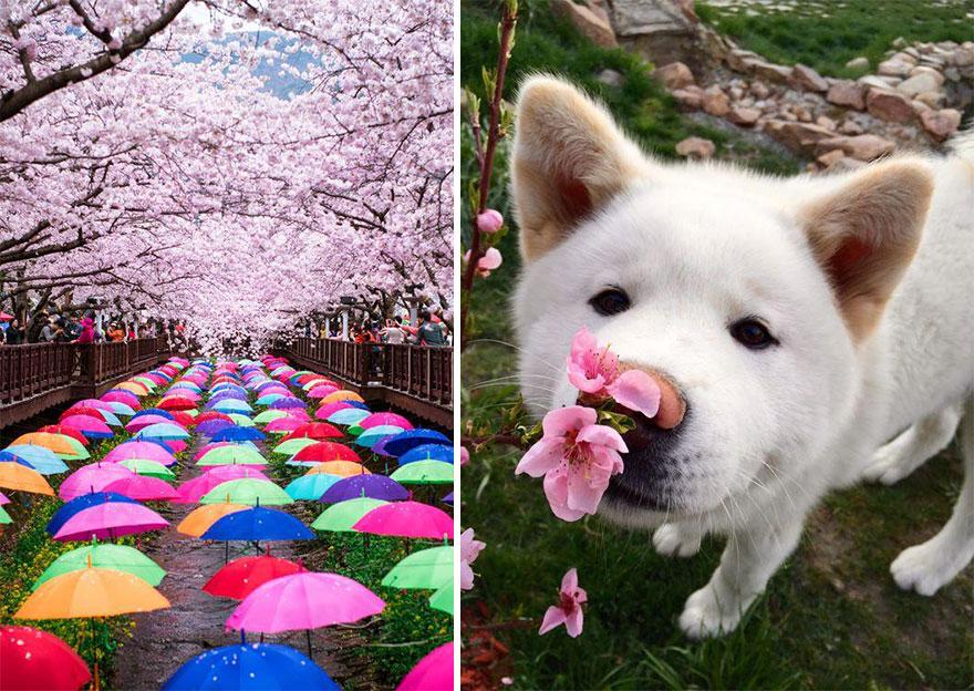 Волшебное цветение сакуры на снимках National Geographic