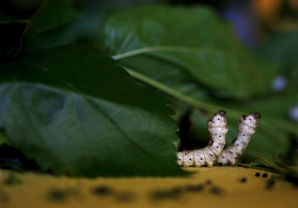 7. Гусеница совершает быстрые, равномерные движения головой и укладывает нить в форме «восьмерк