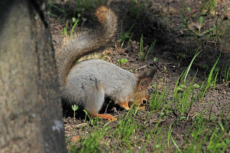Белочка закапывает орешек под корнями дерева среди первой весенней травы