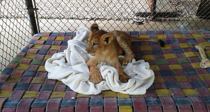 Лев, который не может уснуть без одеяла