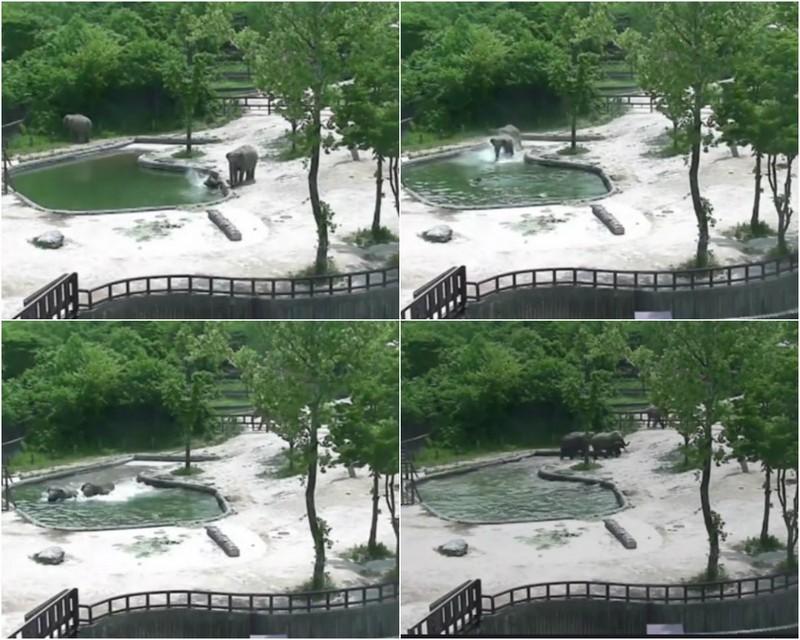 Слоны спасли тонущего слоненка