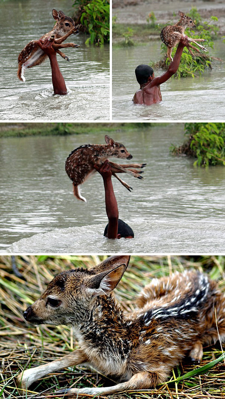 Во время наводнений в Бангладеш мальчик рисковал жизнью, чтобы спасти олененка.