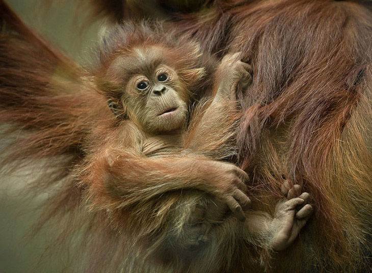 Как бы не упасть. Орангутанги с Суматры.