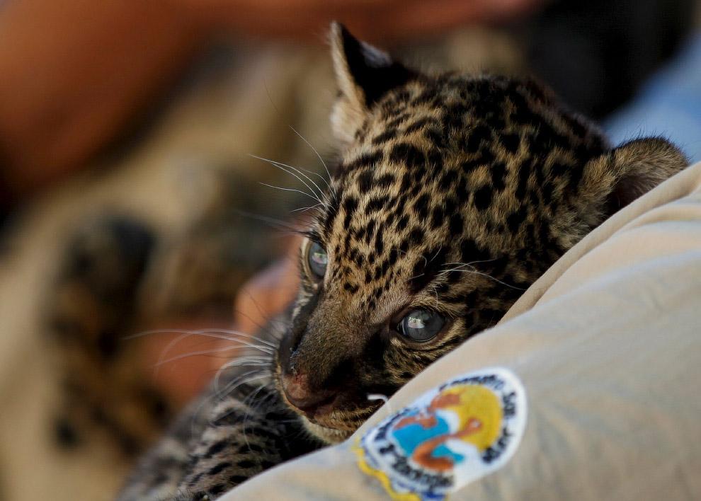 Малыш. 4-недельный ягуар в зоопарке в городе Сьюдад-Хуарес, Мексика. Пройдет немного времени, и он превратится с самого сильного хищника Южной Америки с одним из самых сильных укусов на Земле. (Фото Jose Luis Gonzalez)