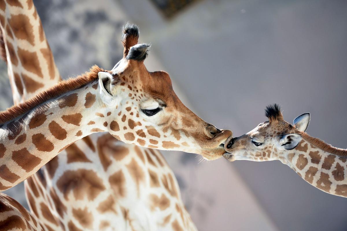 22. Малыш жираф Кенаи, родившийся 25 августа в зоопарке Ла-Флеш, Франция, целует свою маму Диони, 31