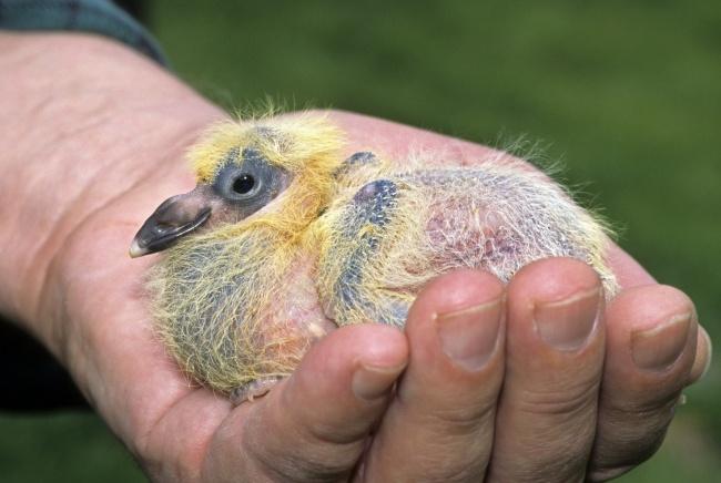 © East News  Ктомуже голуби— очень хорошие родители: они невыпускают птенцов изгнезда, пр