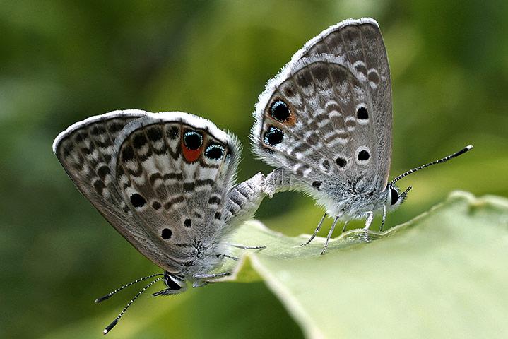 Алкоголизм бабочек исследовали в Уппсальском университете. Выяснилось, что слабость к пиву испытываю