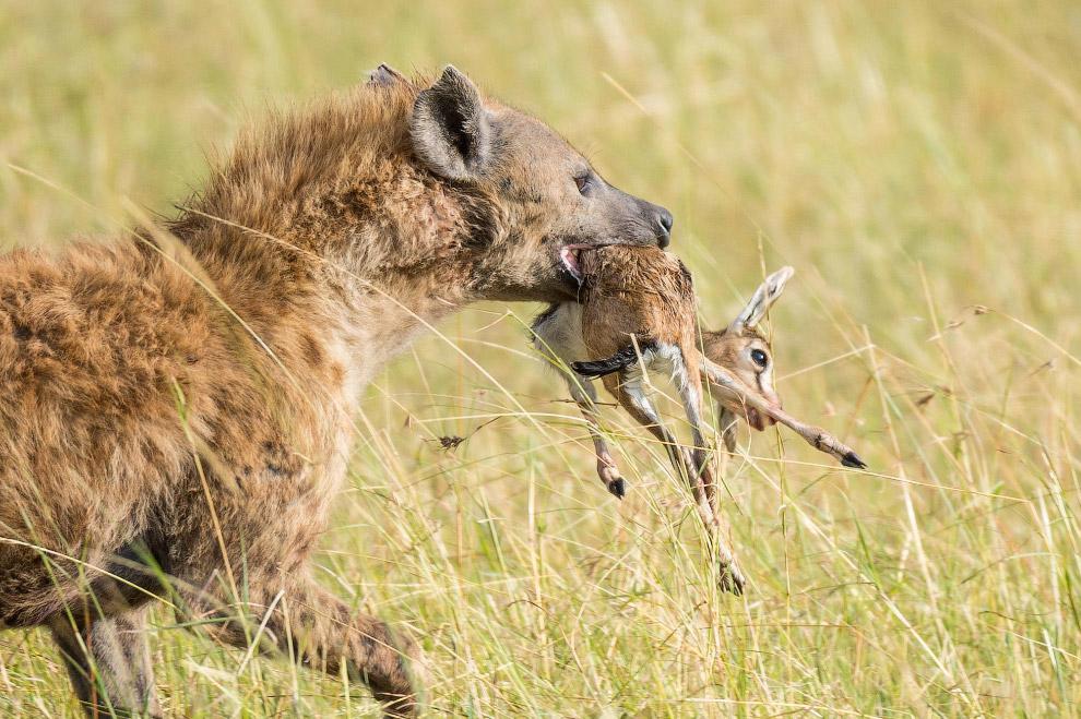 9. Львица наступает, гиена огрызается. Такой небольшой эпизод нелегкой жизни хищников в саванне снял
