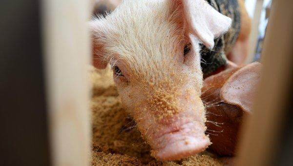 ВВолынской области Украины зафиксирована вспышка африканской чумы свиней