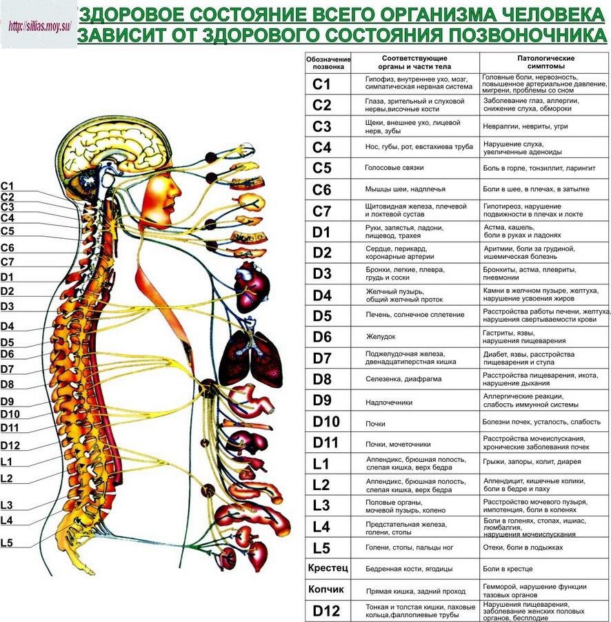 Схема позвоночного столба и области ущемления спинномозговых нервов.jpg