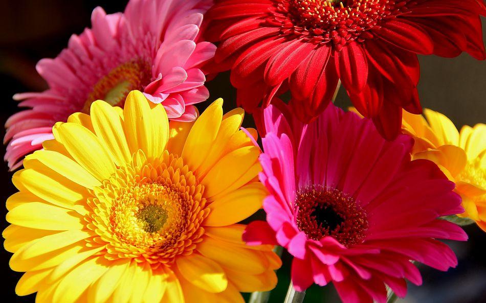 Герберы Цветы Обои рабочий стол