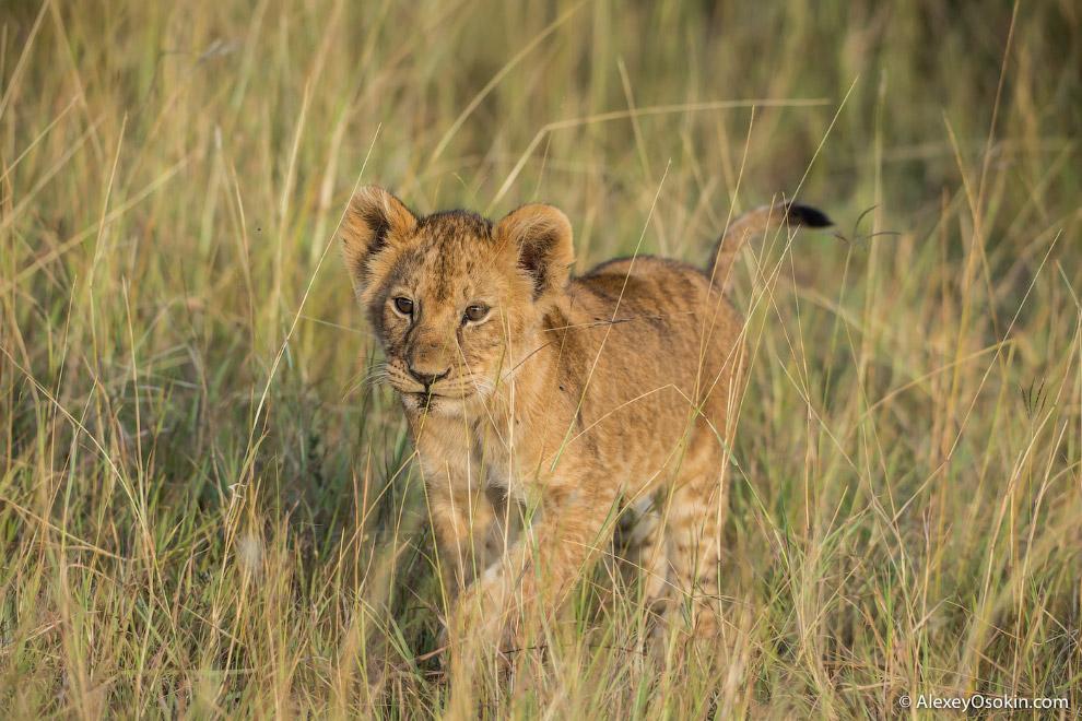 21. Единственный хищник (за исключением человека), который может представлять угрозу для льва —