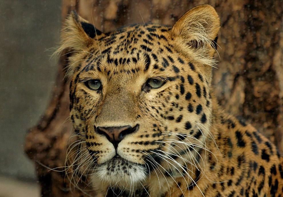 Пятна леопарда напоминают скорее пятна ягуара, а его мех — один из самых длинных из всех подвид