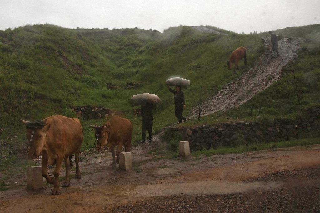 4. Крестьяне сопровождают коров с пастбища во время грозы. Окрестности города Hyesan в провинции Rya
