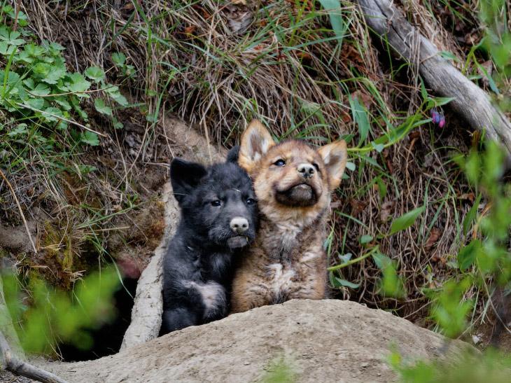 Плачущие волки «Волка особенно трудно сфотографировать в дикой природе». (Фото Petra Warner):