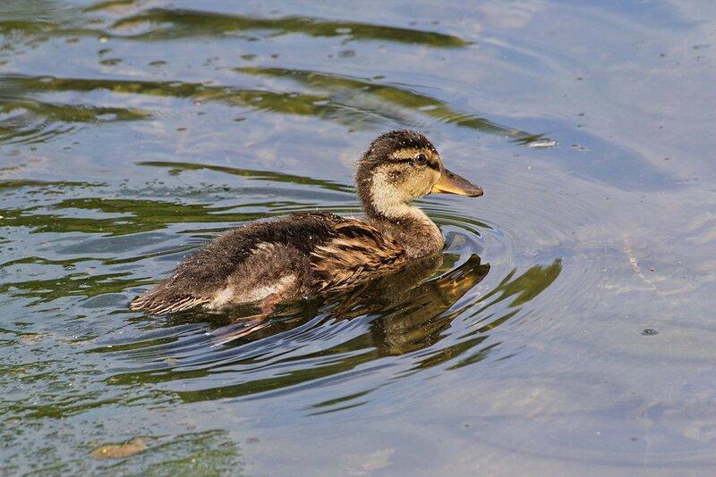 Утёнок-подросток в жёлто-буром пуху и с проклёвывающимися пёрышками на воде речки Мостовицы