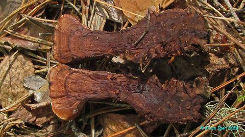 Гиднеллум ржавчинный (Hydnellum ferrugineum) Разрез Автор фото: Кром Игорь