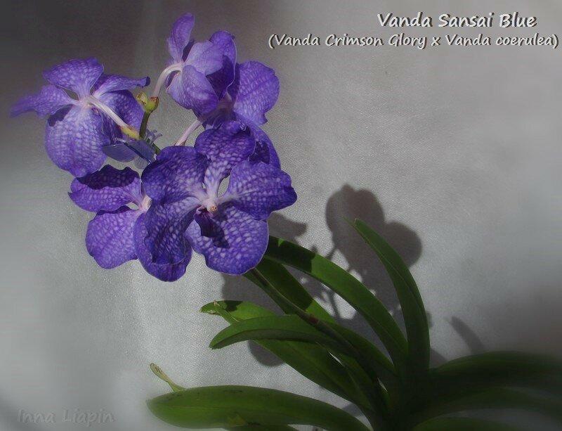 Vanda Sansai Blue (Vanda Crimson Glory x Vanda coerulea)