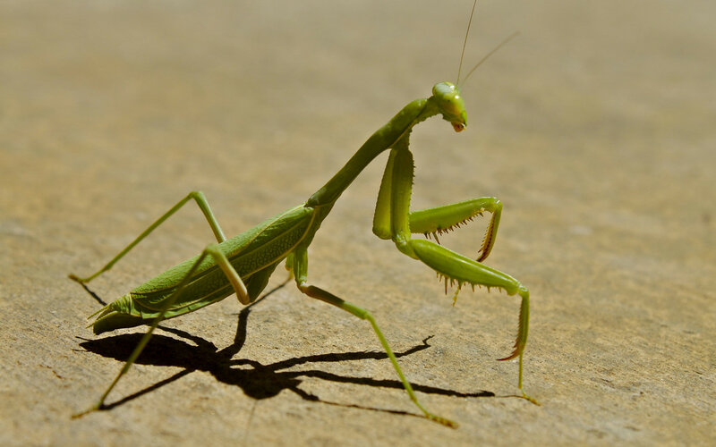 free-praying-mantis-wallpapers-1920x1200.jpg