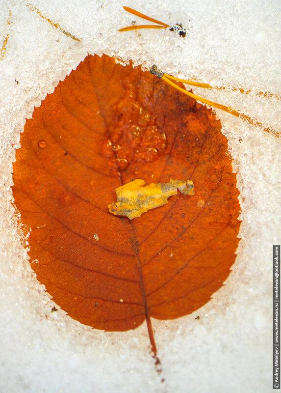 опавший лист в снегу среди иголок сосны