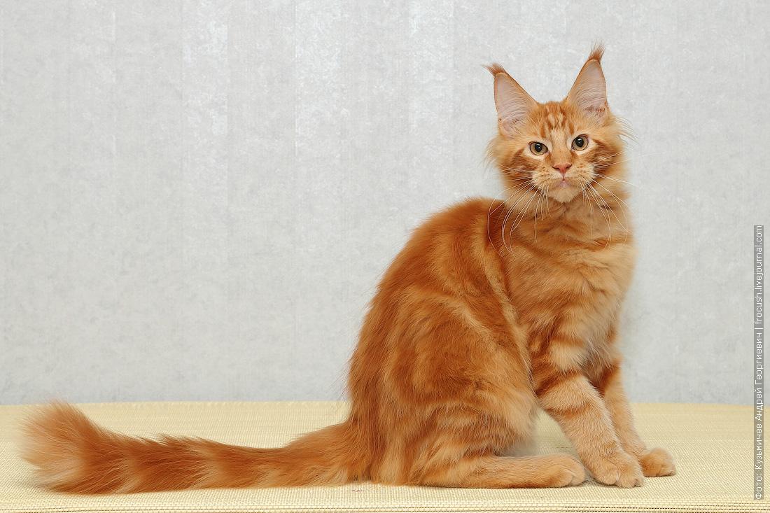 мейн кун котенок красный