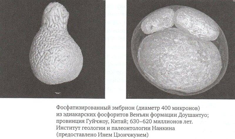 Фосфатизированный эмбрион.jpg