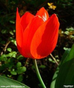 Тюльпаны - Страница 6 0_158a93_cc1172fb_M