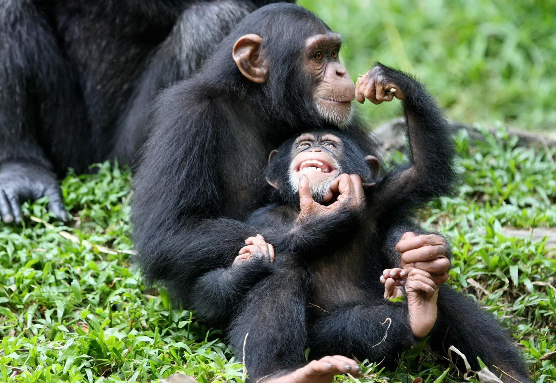 Побут шимпанзе