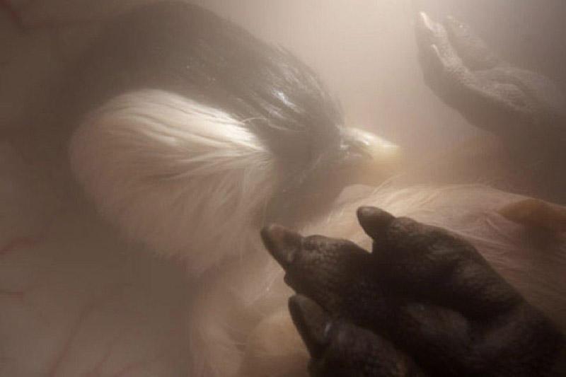 via ViralNova 5. Уже почти полностью сформировавшийся птенец императорского пингвина.