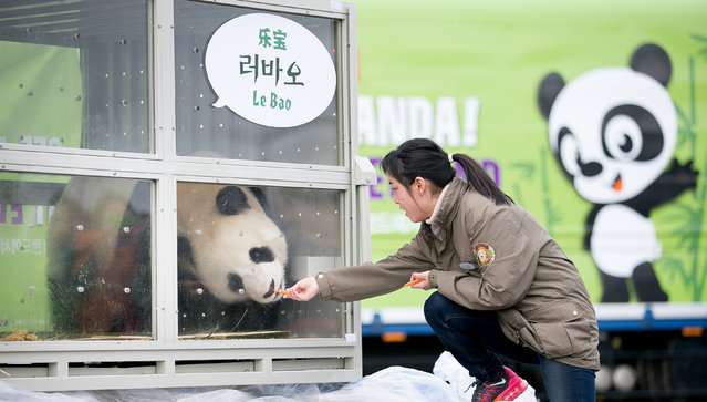A keeper feeds panda named Lebao, which means pleasant treasure, during a welcoming ceremony for a p