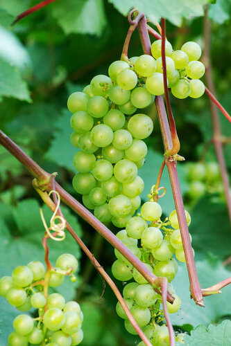 Сибирский виноград