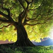 Могучее дерево