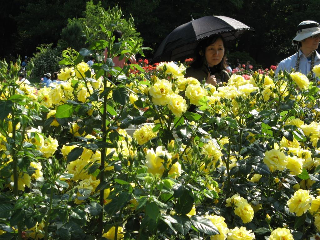 Япония. Розы токийского парка Йойоги / Япония. Йойоги Парк роз в Токио.